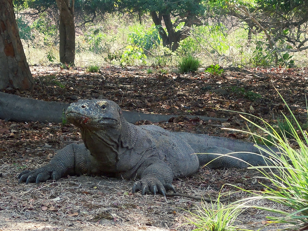 Rinca Komodo Nationalpark Labuan Bajo