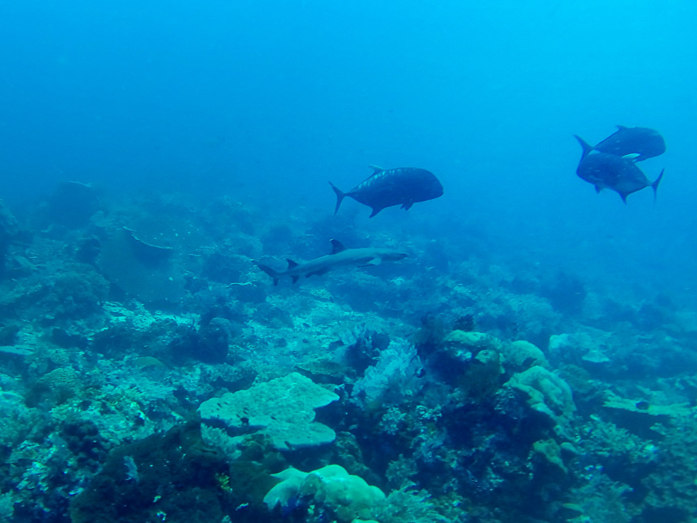 Labuan Bajo Shark